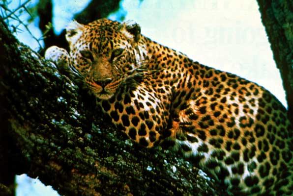 bc38f040e0e1 леопард - это... Что такое леопард